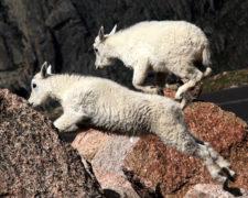 Azimmerman Goats-L1runup