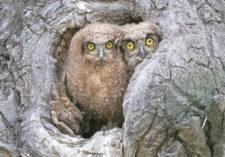bettyhollig-owlets-wild-2R0919