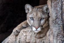 ConnieRudd-Male-Mountain-Lion Cruz WM-PR-L2winner0519