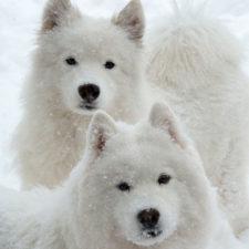 ddannen-snowdogs-2A0320
