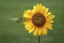 KathyS Sunflower-Attitude-1AM1220