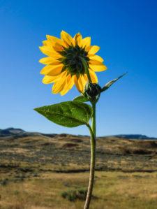 lwinters-Dahl-sunflower1B0819