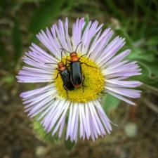 lwinters-Loren-beetles on daisy2B0819