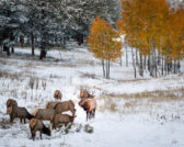 -Leslee Hample - Fall Elk