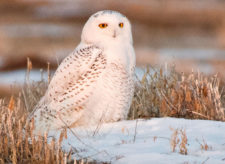 Betty-Holling snowy-owl