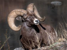 Donna-Dannen Big-horn-sheep